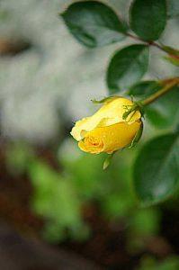 繰り返しよく咲くつるバラ ゴールデンシャワーズ