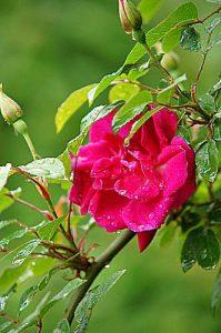 初めて四季咲き性を持ったつるバラの ロサキネンシス紅
