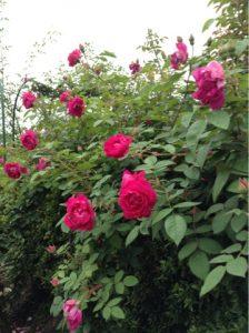 二番花がどんどん咲き出しています。