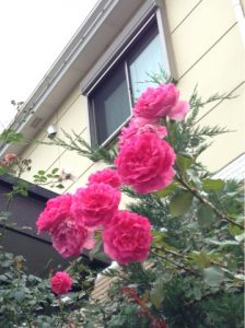 7月1日撮影。夏バラが咲き出しました。