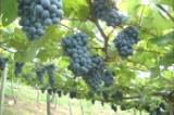 栗の里の生ワインは、創業明治25年、山形の酒井ワイナリーに、特別に造っていただいた本格派!陽当たりのいいぶどう園で、酒井さんが化学農薬を使わず自然農法で丁寧に栽培をしています。