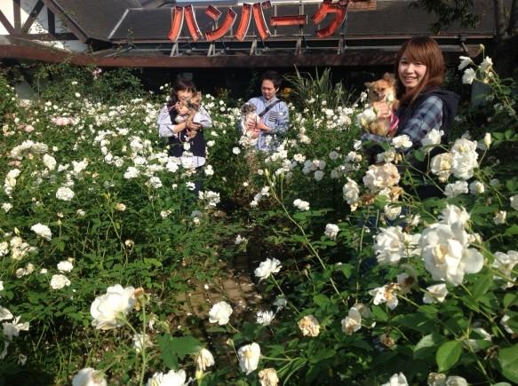 純白カーペットの別名を持つ、アイスバーグエリアで、 バラに囲まれながら、散策できます♪