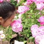 """柵等の設置をなくし、子ども達も、 触れながら""""レトロバラ""""の香りを楽しめる環境を創出。"""