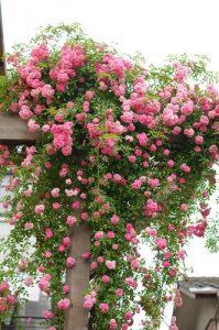 遅咲きの「ドロシーパーキンス」が見頃です。