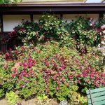 背景にバラを添えたベンチ裏の植栽が出来上がりました。