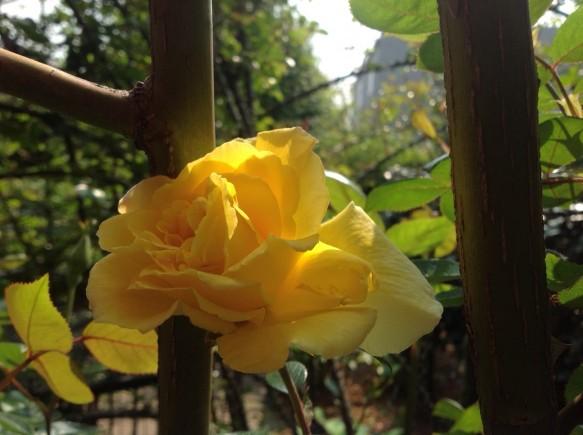 はっきりとした黄色の花で、大輪咲きのゴールデンシャワーズ♪