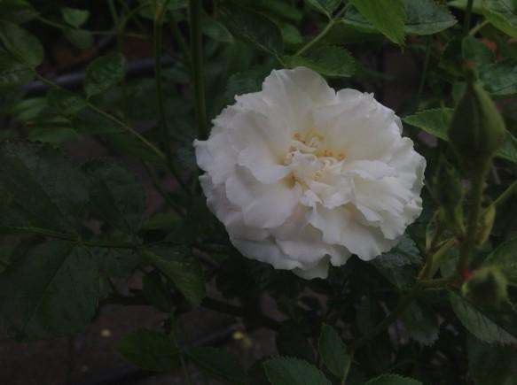 中小輪咲きの白バラ♪可愛らしいフリル♪