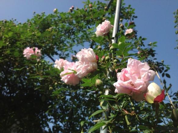 無数の蕾を展開し、今にも全開しそうです♪ 淡いピンク色が麗しい♪