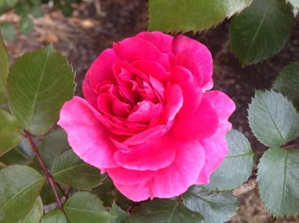 四季咲きで、何度も綺麗な花を咲かせるパレード♪