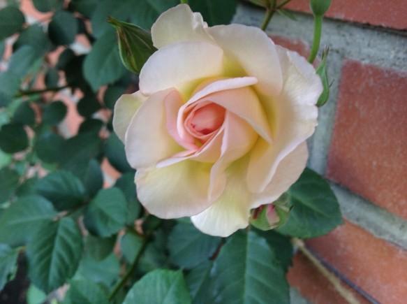やわらかい花形♪色合いも美しいバラ♪