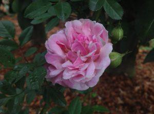 早咲き品種のロサキネンシスアルバが開花しました!! 白い花をつけるアルバですが、今年の開花は、ピンク色が強い傾向にあるようです♪