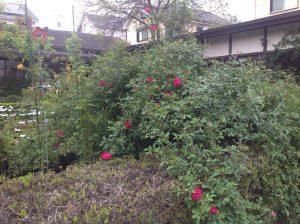 早咲き品種のロサキネンシスが、順次、開花しています!!2割咲きです♪