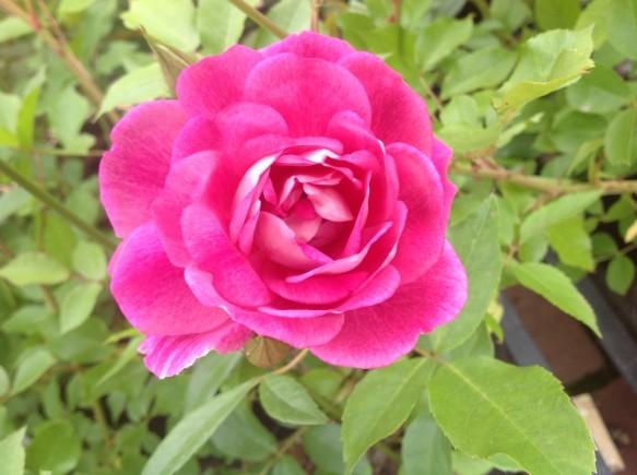 ブリリアントピンクアイスバーグ♪強く、可憐なピンクバラ♪