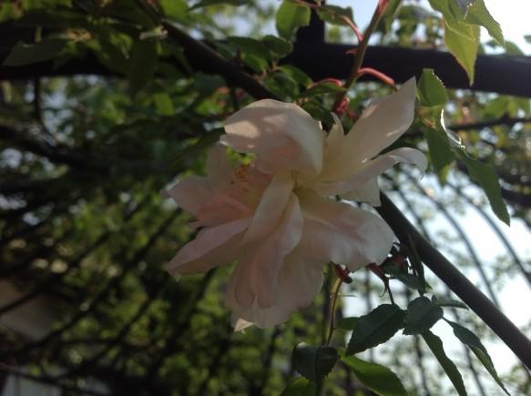 優しい花としなやかな枝が特徴のラマルク♪