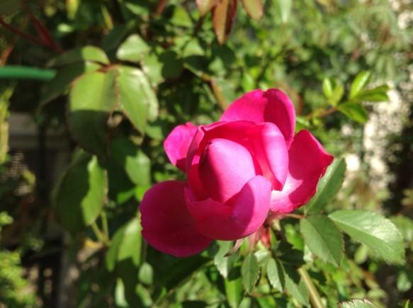小輪咲きで、たくさんの花をさせるキャメリアローズ♪