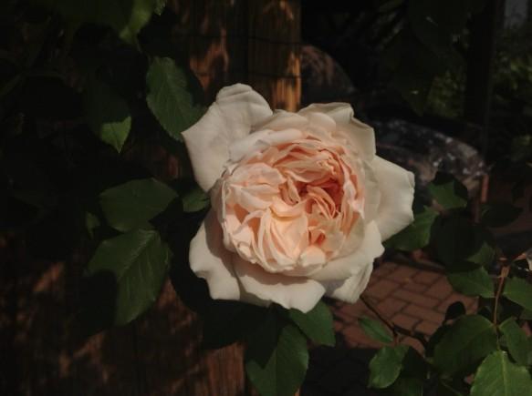 可愛らしいフリル花と淡いピンク色が特徴のマダムアルファレッドキャリエール♪