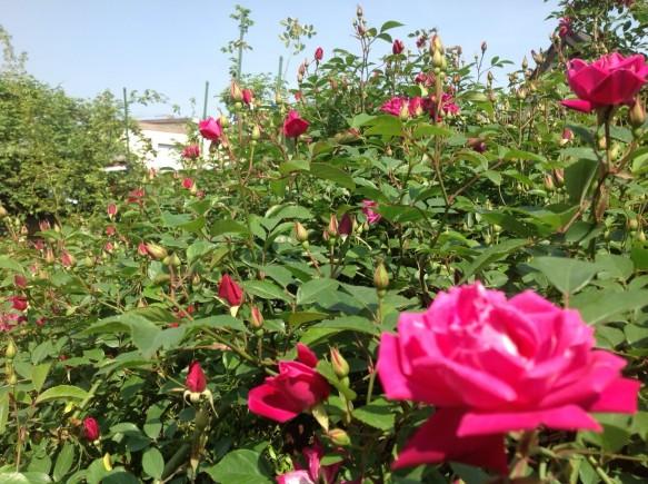 早咲き品種のロサキネンシスが、間もなく全開です♪ 何時咲いてもおかしくない状態です♪