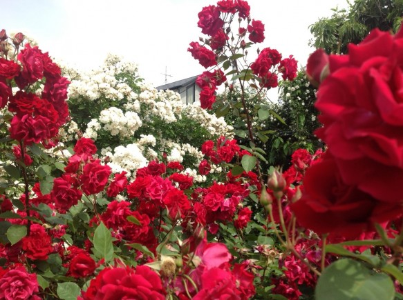 赤と白のコントラストが美しい、コモドーレとプロスぺリティー♪