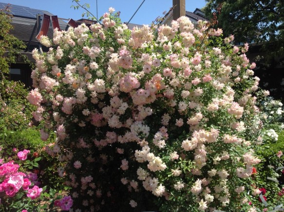 色変わり開花のフィリスバイドも、まだまだ楽しめます♪