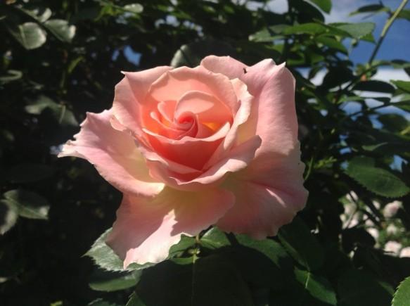 ロココ♪強く、美しく咲いてくれます♪