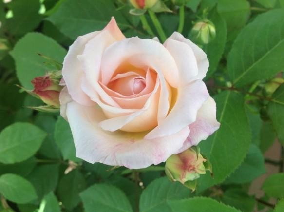 グルスアンアーヘン♪素晴らしき色彩♪花の形も上品です♪