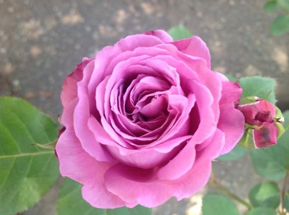 ブルーマゼンダ♪別名「青いバラ」とも言われる名花♪