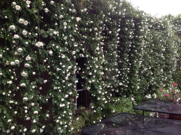 純白の滝♪バルビエが開花しました♪一見の価値ありです♪