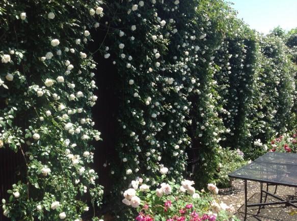 バラの滝♪アルベリックバルビエも、まだまだ楽しめます♪