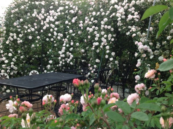 圧巻の早咲きバラの風景♪ガーデン内での食事はいかがでしょうか♪