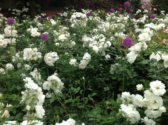 続々と純白のバラが開花中です♪