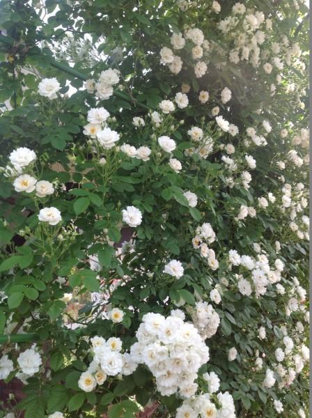 ブーケ咲きのホワイトフライトが咲き出しました♪