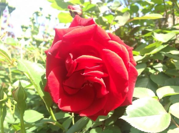 コモドーレ♪真っ赤なバラ♪お庭のアクセントになります♪