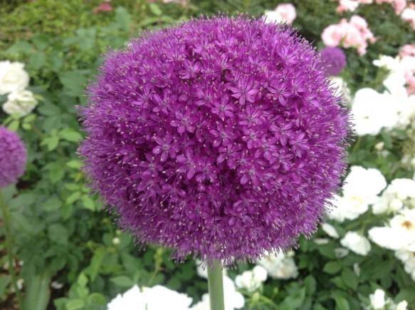 紫玉との愛称がある「アリウムギガンチューム」も見頃です♪