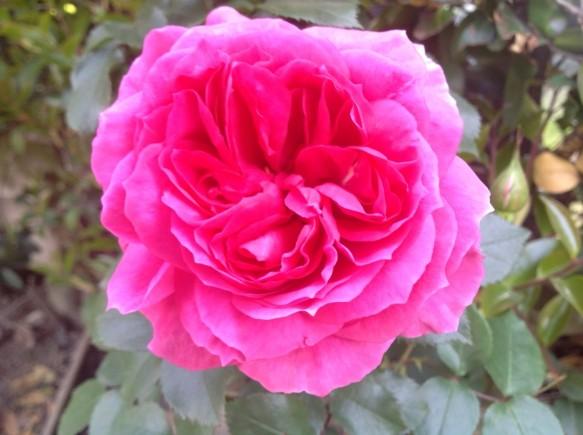 一輪一輪のバラを写真に撮りにきているお客様も多く見受けられます♪