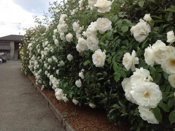 駐車場側の生垣仕立てのバラが見頃です♪