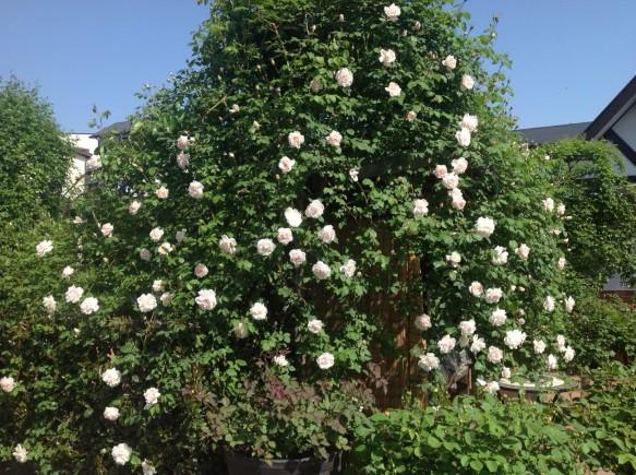 ボリュームのある仕立て方で、お客様をお出迎え♪ 蕾がたくさんありますので、300輪くらいの開花が見込めそうです♪