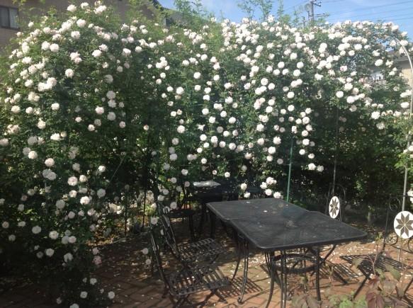 希少種のバラに囲まれながらのティータイムは、いかがでしょうか♪