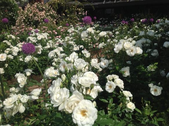 アイスバーグが次々と開花しています♪ 約200株のアイスバーグが、6月上旬まで咲き続けます♪