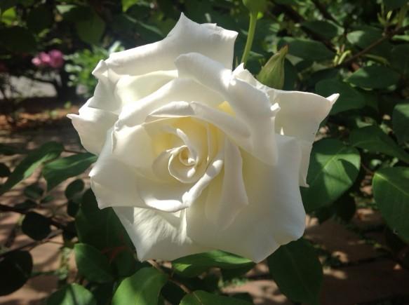 ミセスハーバートスチーブンス♪純白の白バラ♪うっとりします♪