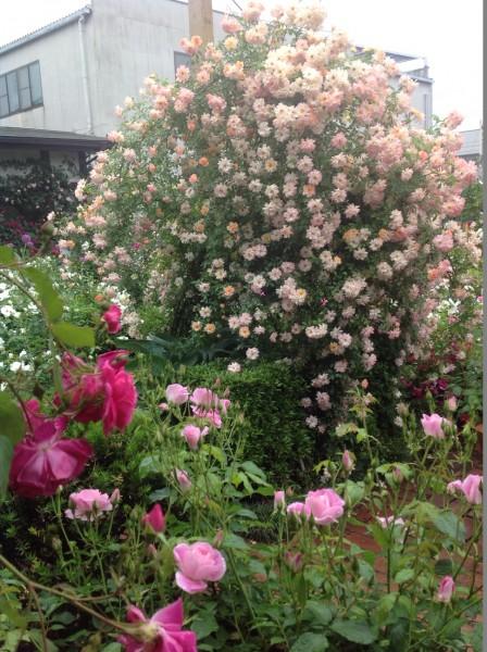 晴れた日には見受けられない、バラの表情をお楽しみください♪
