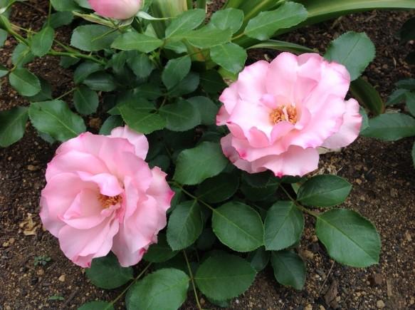 ローゼンドルフスパリースホープが咲き出しました♪