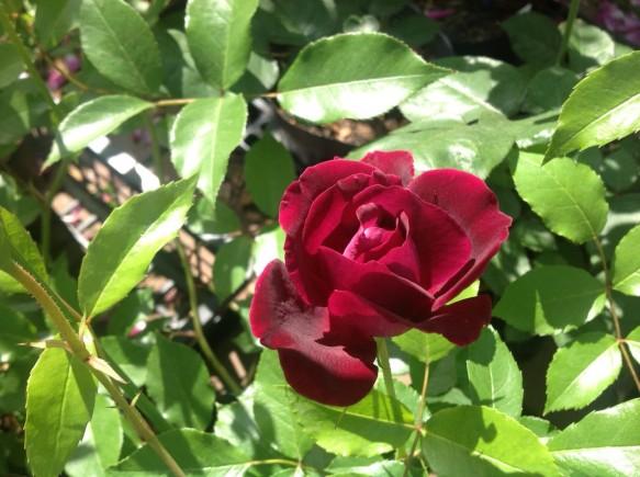 バーガンディーアイスバーグ♪赤紫のアイスバーグ♪色合いが人気♪