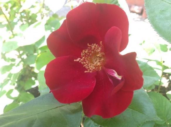 やっと咲きました♪栗の里の一重咲きの定番♪ダスキーメイデン♪
