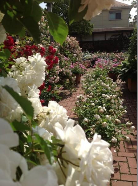 よく晴れた日の日曜日に、バラに囲まれたお庭で、ティータイムはいかがでしょうか♪