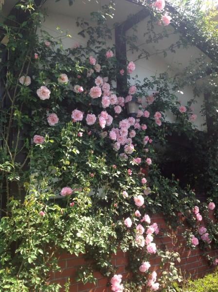 大輪のピンクバラが、見頃を迎えます♪ この時期だけしか咲かないので、一見の価値ありです♪