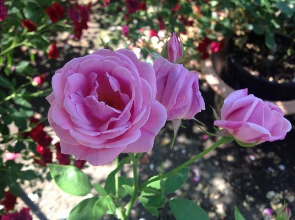 小輪のバラも咲き始めました♪