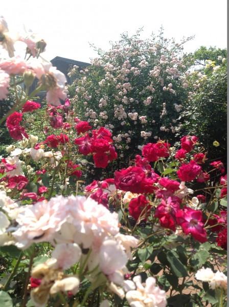 6月上旬までは、バラ園を楽しめます♪