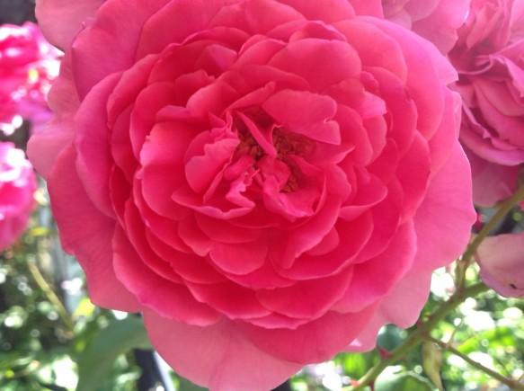 遅咲き品種が続々と開花中です♪
