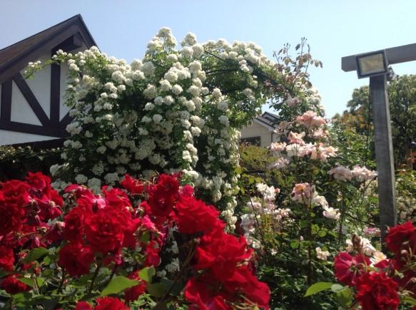 ローザガーデンは、全体的に5割~6割咲きで推移しています♪