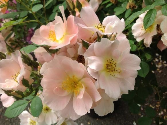 こちらも名花「レイチェルボウズライアン」が開花しました♪